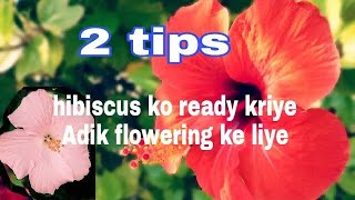 2 tips helps hibiscus flowering plant to grow fast/ how to care hibiscus in rainy season