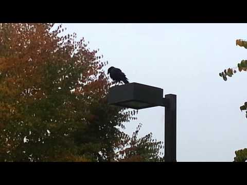 Crow mating call?