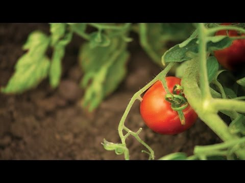 Research Increases the Confidence of California Tomato Growers