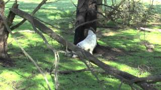 English Springer Spaniel Lizzie Hunting Rabbits