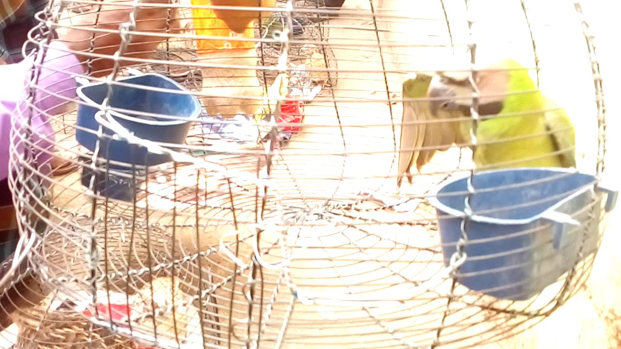 Pet and Animals     pet  bird for sale