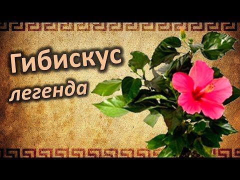 Истории и Легенды о Китайской розе. Чем славиться Гибискус?
