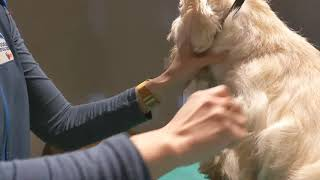 Hand stripping a Westie for Competition