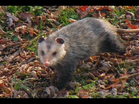 Raccoon and Opossum Trapping - The Management Advantage