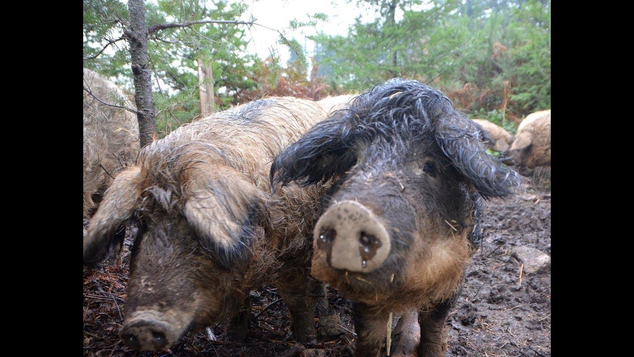 Cochons Laineux les cochons laineux du catié - youtube