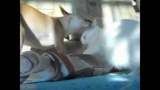 Карликовый пинчер против Кошки