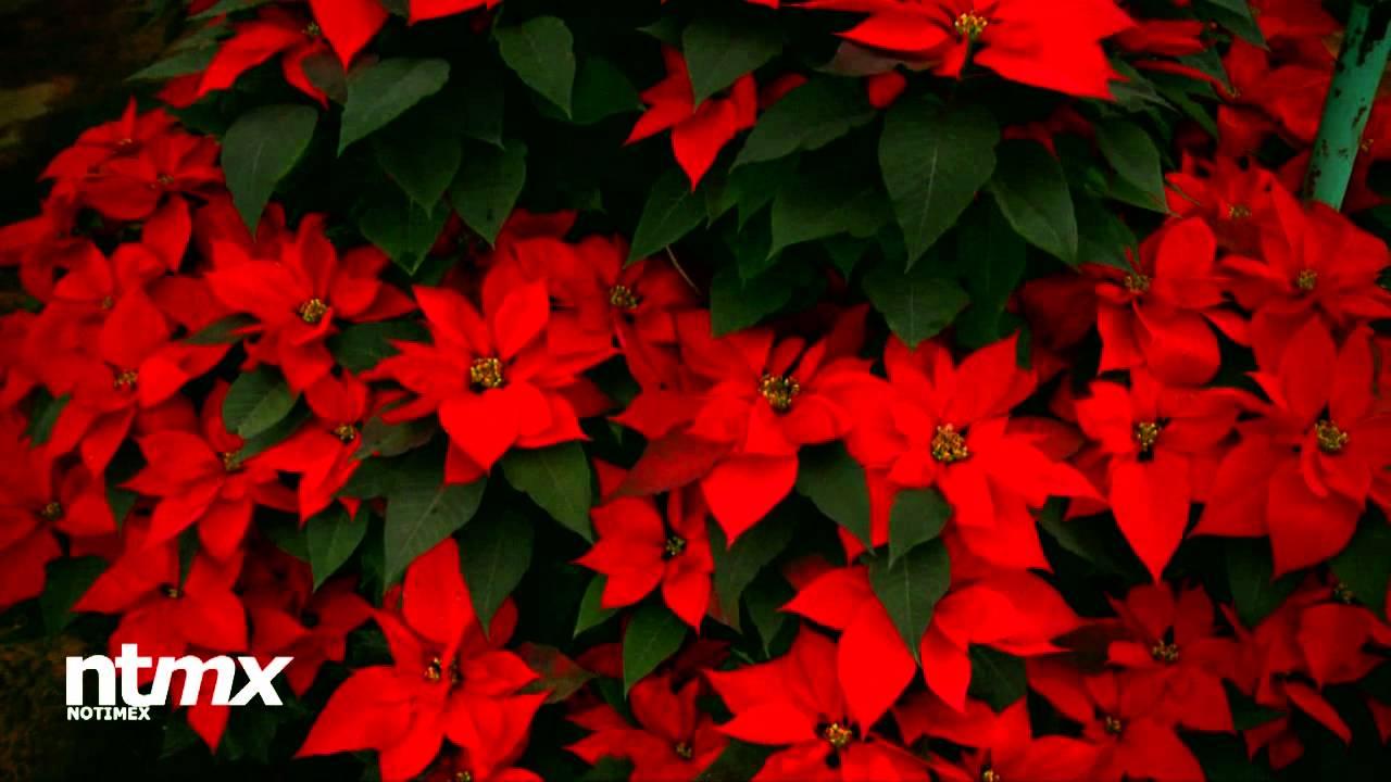 La Flor De Noche Buena Símbolo De La Navidad Youtube