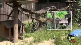 Waschbären u. Marderhunde im Solinger Vogel-  und Tierpark