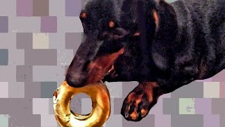 Enthusiastic Dachshund's Funny Conversation About Rawhide Chew