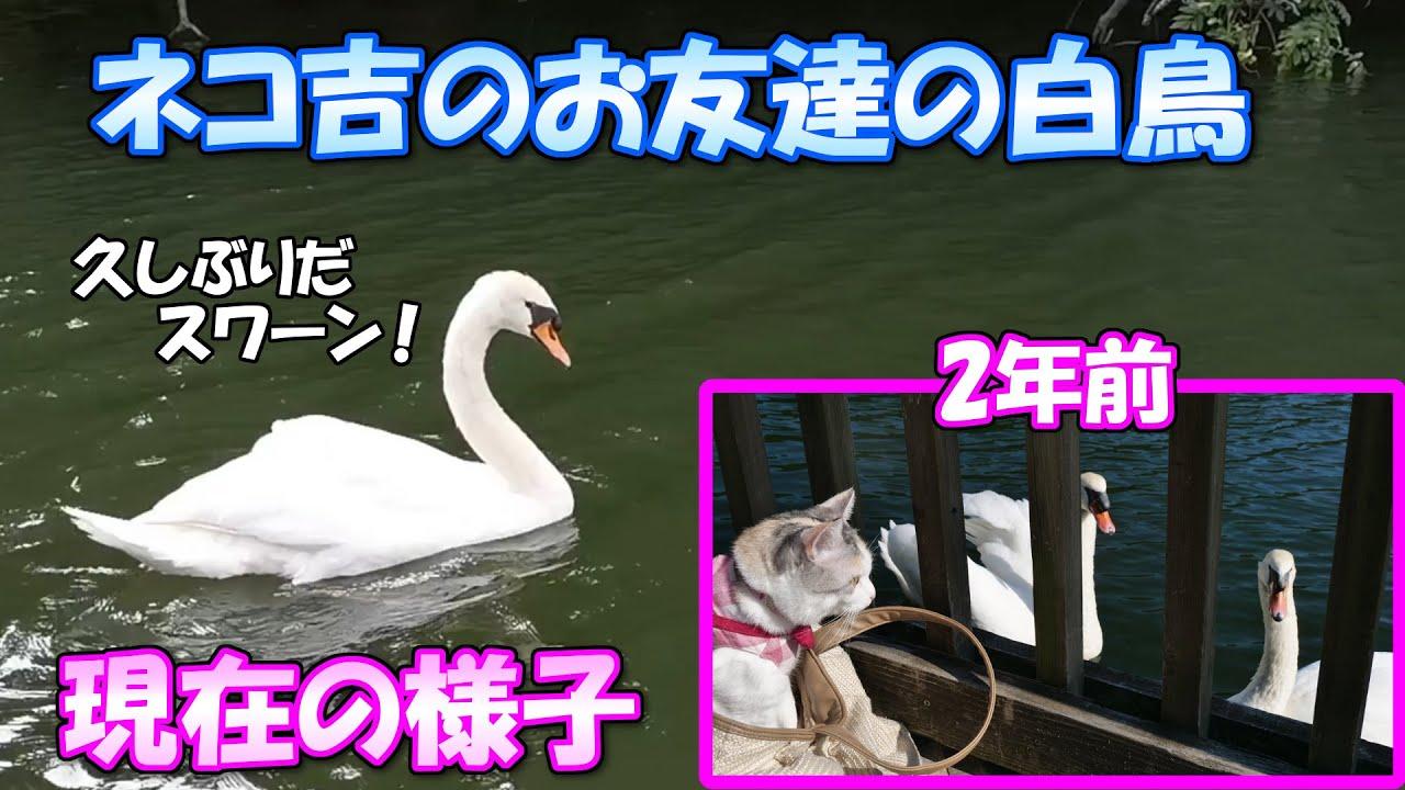 2年ぶりにネコ吉の友達の白鳥に会いに行って来ました
