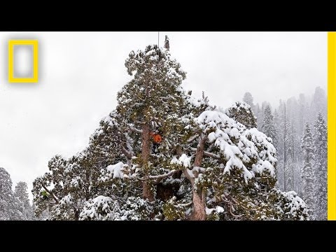 Super Trees: Climbing a Giant Sequoia | Nat Geo Live