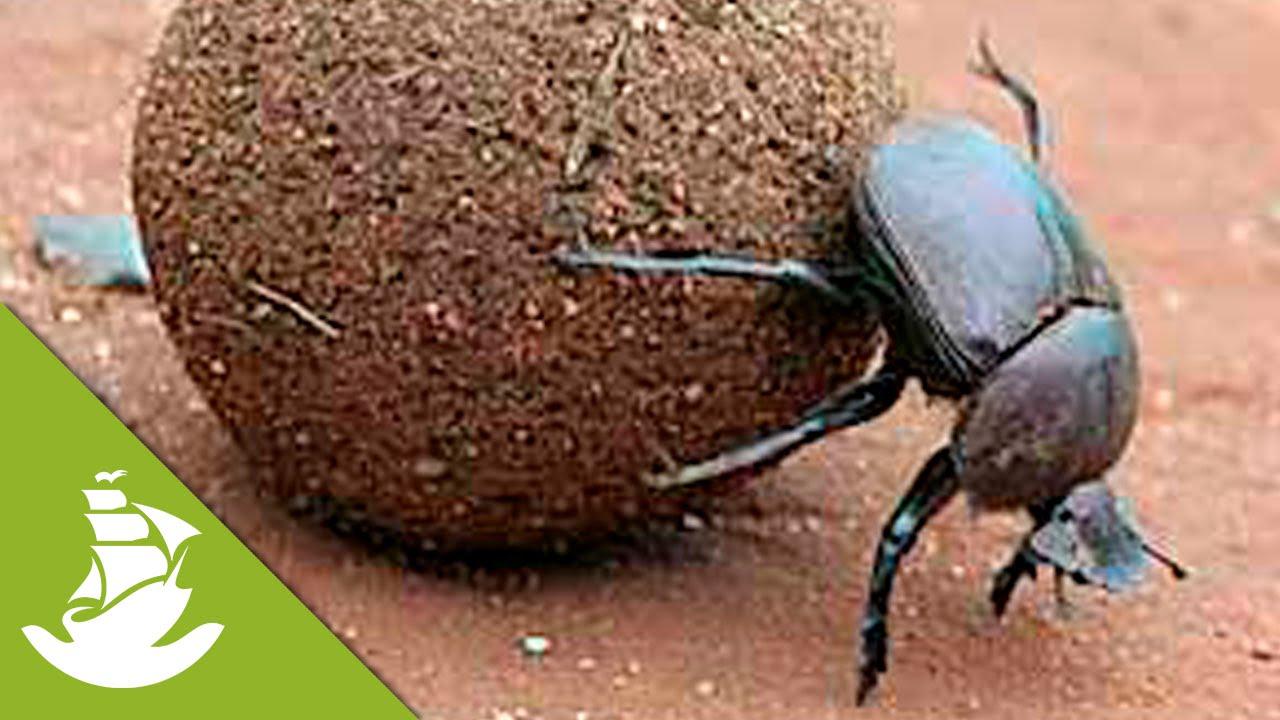 dung beetle youtube