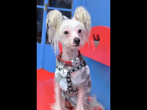 Pony Boy, a male Chinese Crested at Muttville