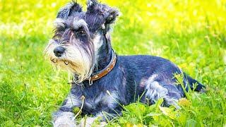 Шнауцеры: живая легенда. Происхождение породы, воспитание. Собаки от А до Я (DOGS FROM A TO Z)