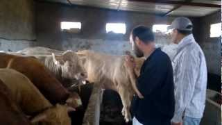 Elevage bovin charolais à Essaouira .mp4