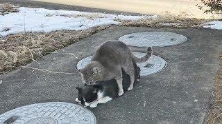 猫の交尾に至るまでの貴重な映像うちの猫が交尾されてる動画 #2 チャン...