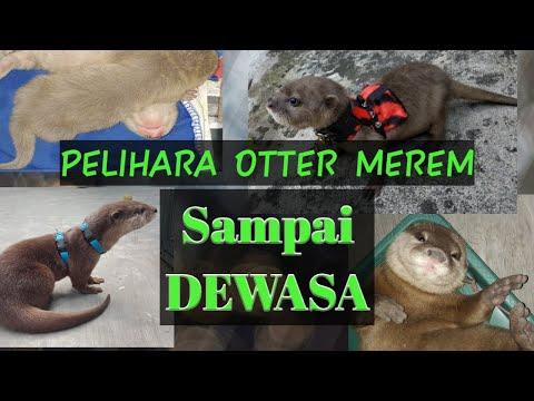 Cara Merawat Otter Umur 2 Bulan