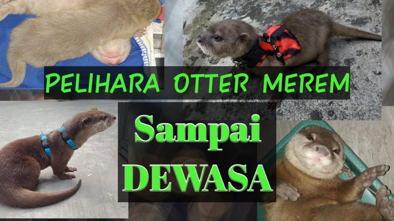 Tips Jitu Merawat Bayi Otter Yang Masih Merem Youtube