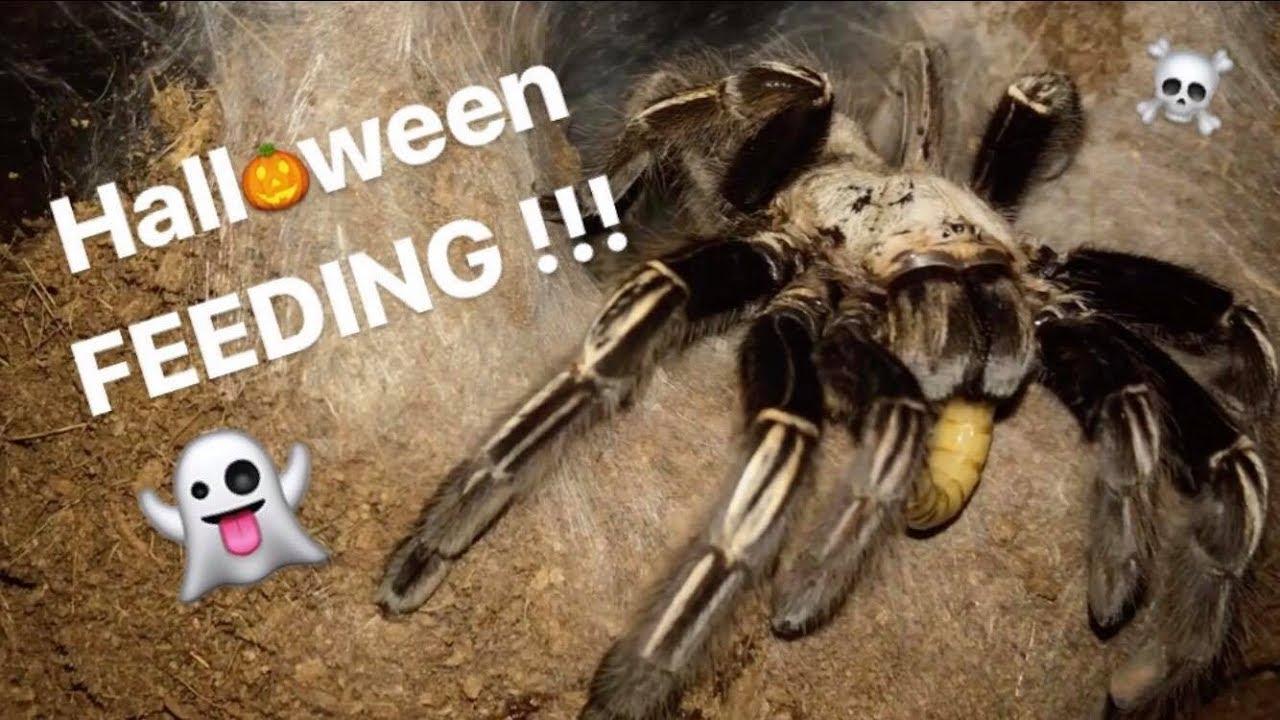 feeding-my-big-tarantulas-halloween-cringe-special