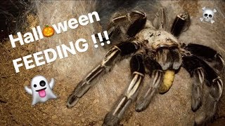 FEEDING my BIG TARANTULAS !!! * 🎃Halloween CRINGE Special 🎃*