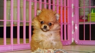 Pomeranian, Puppies, For, Sale, In, Hartford, Connecticut, County, CT, Fairfield, Litchfield, Middle