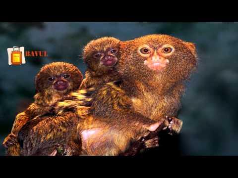 Parmak Maymun ( Cüce İpek Maymunu) Hakkında Bilgiler