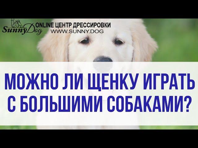 Почему щенку нельзя играть с большой собакой? Общение щенка с другими собаками