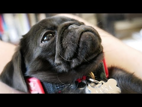 PUG PUPPY 🐶 - Unboxing And Review At 8 Weeks