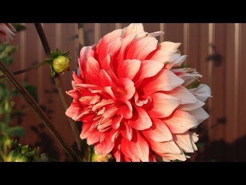 Георгины лучшие сорта Часть 1 Цветы в сентябре