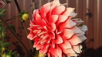 Георгины -  лучшие сорта  Часть 1 Цветы в сентябре