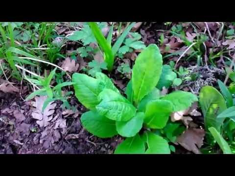 Первоцвет весенний: фото, описание, выращивание, применение