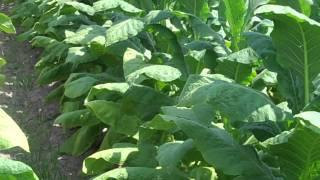 Popular Videos - Tobacco plants & Leaf vegetable