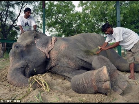 Raju The Elephant Cries Tears of Joy While Being Rescued After 50 Years Of Abuse And Chains In India
