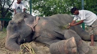 Raju The Elephant Cries While Being Rescued After 50 Years Of Abuse In India