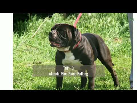 top-10-guard-dog-breeds