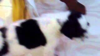 Chuchu The Funny Dalmatian Shih Tzu