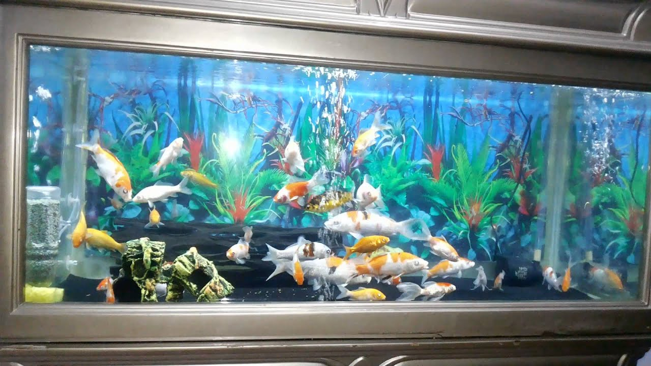 Ikan koi dalam aquarium - YouTube