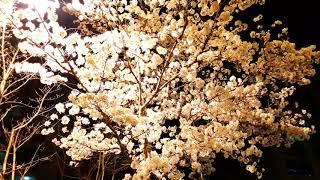 봄밤 가로등과 벚꽃(cherry blossoms lit…