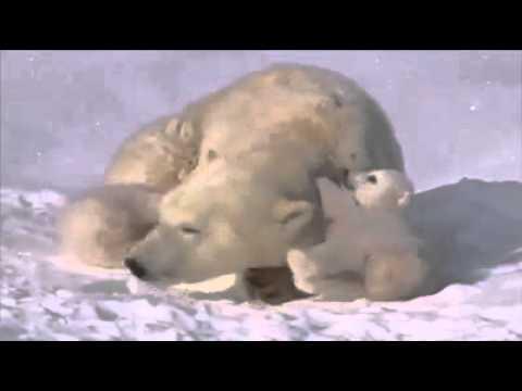 Dos bebés y su madre oso polar que amarás inmediatamente!
