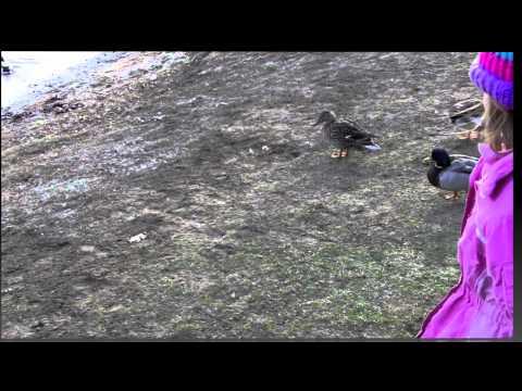 Ducks At Olander Park, Sylvania, Ohio