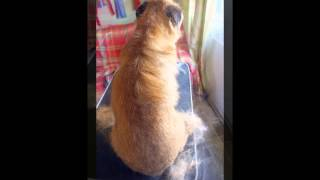 Glencairn Canine Care - Border Terrier Grooming