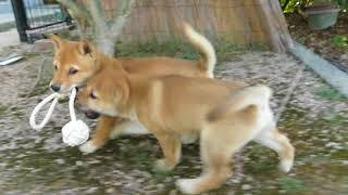 ロープを引っ張り合い楽しそうに遊ぶ山陰柴犬の子犬兄妹.