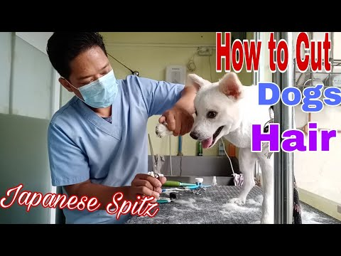 How To Cut Dog Hair | Japanese Spitz