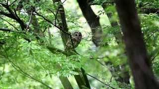 撮影日:5015-5-22 フクロウがキビタキ、エナガなどの鳥たちに、縄張り...