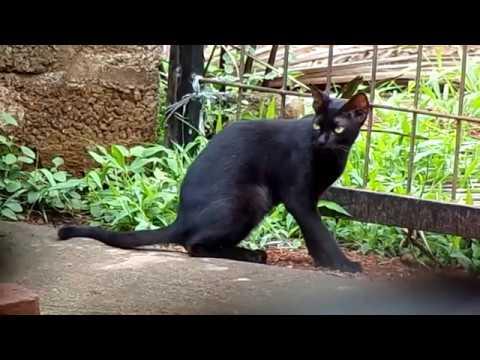 #Animal Watch |  Bombay cat | Black Burmese | mini-panther