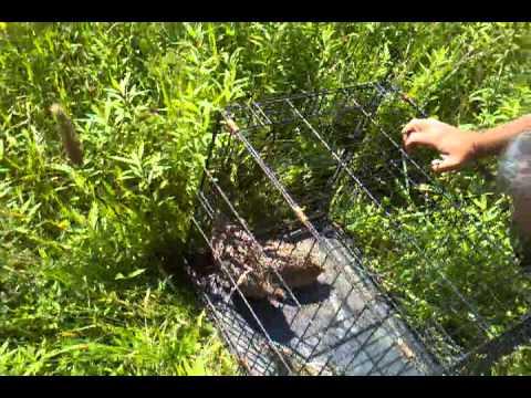 Releasing ring neck pheasants in ridgebury pa