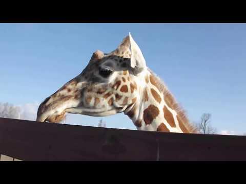 "April and Tajiri outside, Tajiri nursing at Animal Adventure Park's ""Jungle Bells"" event 2017"