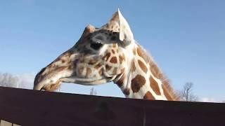 April and Tajiri outside, Tajiri nursing at Animal Adventure Park