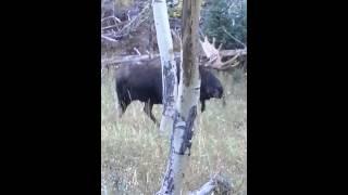 Elk hunting but called in moose to 10 FEET.