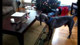 Pit Bull Spooked By A Frosty The Snow Man Ornament